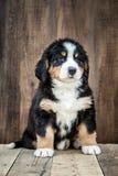 Perro de perrito lindo de la montaña de Bernese imagenes de archivo