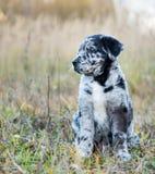 Perro de perrito lindo de Labrador con diversos ojos del color fotografía de archivo
