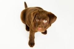 Perro de perrito marrón lindo de Labrador que mira para arriba imagen de archivo