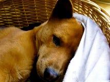 Perro de perrito marrón lindo que duerme en una cesta Fotos de archivo libres de regalías