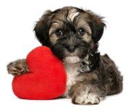 Perro de perrito masculino de Havanese de la tarjeta del día de San Valentín del amante Fotografía de archivo