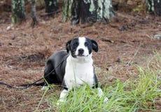 Perro de perrito mezclado blanco y negro del terrier de la raza que coloca jugar foto de archivo