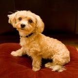 Perro de perrito mezclado de Yorkie y de ShiTzu Foto de archivo libre de regalías