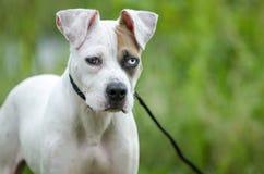 Perro de perrito mezclado dogo americano de la raza Imagenes de archivo