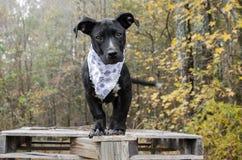 Perro de perrito mezclado negro de la raza con el pañuelo azul del copo de nieve foto de archivo