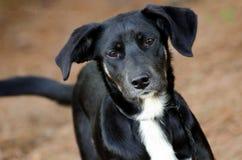Perro de perrito mezclado perro negro de la raza del laboratorio Imagenes de archivo