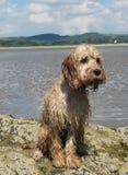 Perro de perrito mojado del cockapoo que se sienta en roca con el mar, la arena y el paisaje en fondo imágenes de archivo libres de regalías