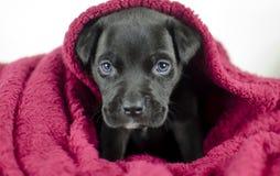 Perro de perrito negro con los ojos azules bajo cubiertas de cama, Georgia los E.E.U.U. imagen de archivo libre de regalías