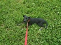 Perro de perrito negro con un correo rosado en la hierba fotos de archivo libres de regalías