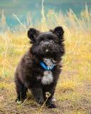 Perro de perrito de Papillon al aire libre Imagenes de archivo