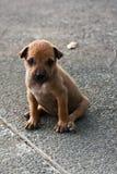 Perro de perrito, perro tailandés Fotos de archivo