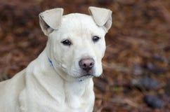 Perro de perrito de Pitbull, fotografía de la adopción del rescate del animal doméstico Imágenes de archivo libres de regalías