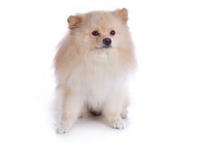 Perro de perrito pomeranian blanco Imágenes de archivo libres de regalías