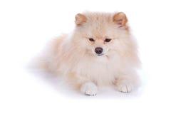 Perro de perrito pomeranian blanco Fotografía de archivo libre de regalías