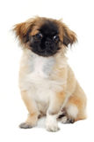 Perro de perrito que se sienta en el fondo blanco Fotos de archivo