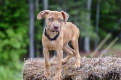 Perro de perrito rojo de Pitbull Foto de archivo libre de regalías
