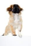 Perro de perrito y muestra en blanco Imagen de archivo