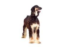 Perro de perro árabe Fotos de archivo libres de regalías