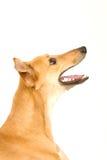 Perro de perro Fotografía de archivo