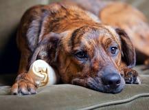 Perro de perro brindled adorable Foto de archivo libre de regalías