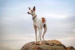 Perro de perro de Ibizan Foto de archivo libre de regalías