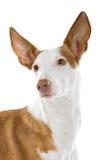 Perro de perro de Ibizan Foto de archivo
