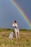 Perro de perro de Ibizan con el arco iris Fotografía de archivo libre de regalías