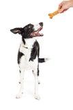 Perro de Person Giving Treat To Happy Foto de archivo libre de regalías