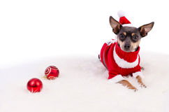 Perro de Pincher listo para la Navidad Fotografía de archivo