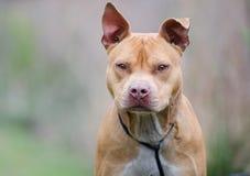 Perro de Pitbull Terrier del americano de Rednose, Walton County Animal Shelter Foto de archivo