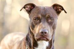 Perro de Pitbull Terrier del americano del chocolate, Walton County Animal Shelter imagen de archivo libre de regalías