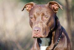 Perro de Pitbull Terrier del americano del chocolate, Walton County Animal Shelter fotos de archivo libres de regalías