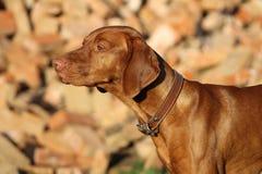 Perro de Pointin Foto de archivo