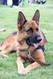 Perro de policía Fotografía de archivo libre de regalías