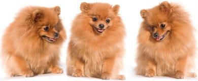Perro de Pomerania fotos de archivo libres de regalías