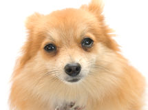 Perro de Pomerania foto de archivo libre de regalías