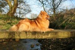 Perro de Pomerania alemán Foto de archivo