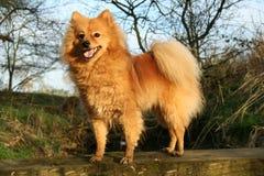 Perro de Pomerania alemán Fotografía de archivo libre de regalías