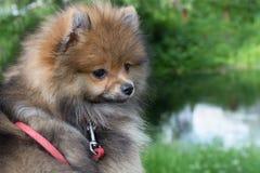 Perro de Pomerania alemán Imagen de archivo libre de regalías