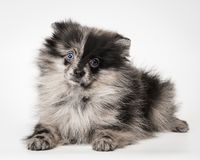 Perro de Pomerania alemán en el estudio foto de archivo libre de regalías