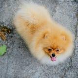 Perro de Pomerania anaranjado adulto de Pomeranian Fotografía de archivo libre de regalías
