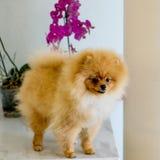 Perro de Pomerania anaranjado adulto de Pomeranian Foto de archivo libre de regalías