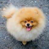 Perro de Pomerania anaranjado adulto de Pomeranian Imágenes de archivo libres de regalías