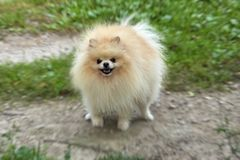 Perro de Pomerania anaranjado adulto de Pomeranian en el paseo Fotos de archivo libres de regalías