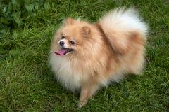 Perro de Pomerania anaranjado adulto de Pomeranian en fondo de la hierba verde Imágenes de archivo libres de regalías
