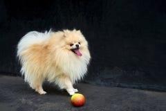 Perro de Pomerania anaranjado adulto de Pomeranian en fondo negro Imagen de archivo