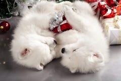 Perro de Pomerania blanco Fotos de archivo