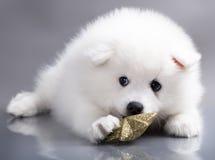 Perro de Pomerania blanco Imagenes de archivo