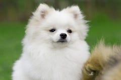 Perro de Pomerania blanco de Pomeranian que juega en hierba Foto de archivo libre de regalías