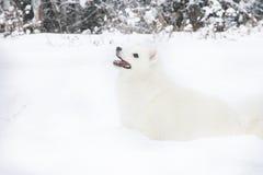 Perro de Pomerania blanco que camina en el bosque del invierno de la nieve Imagenes de archivo